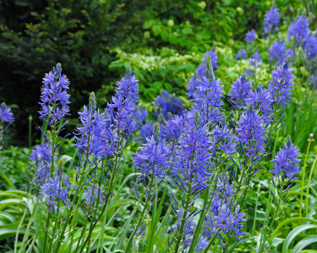 Camassia bulbs for bees