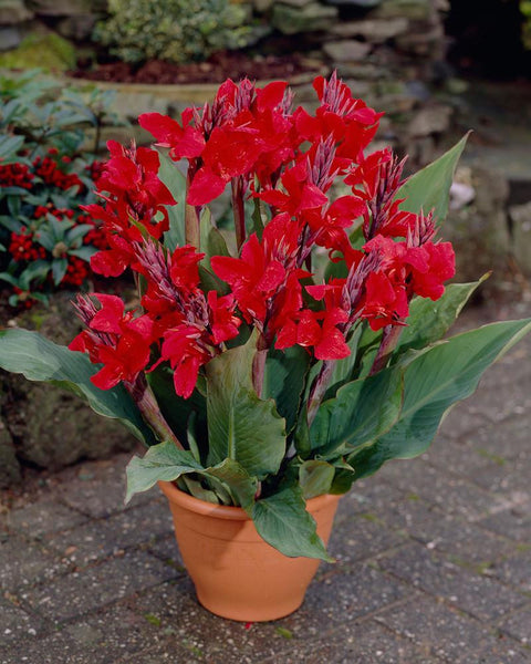 Canna Cherry Red