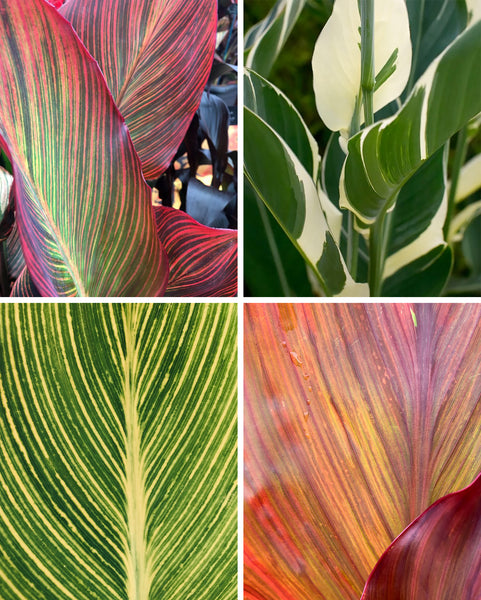 Canna collection Lush Leaves