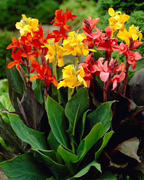 Canna Mixed Colours