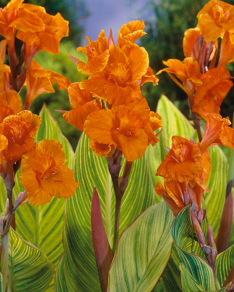 Canna Collection Mandela