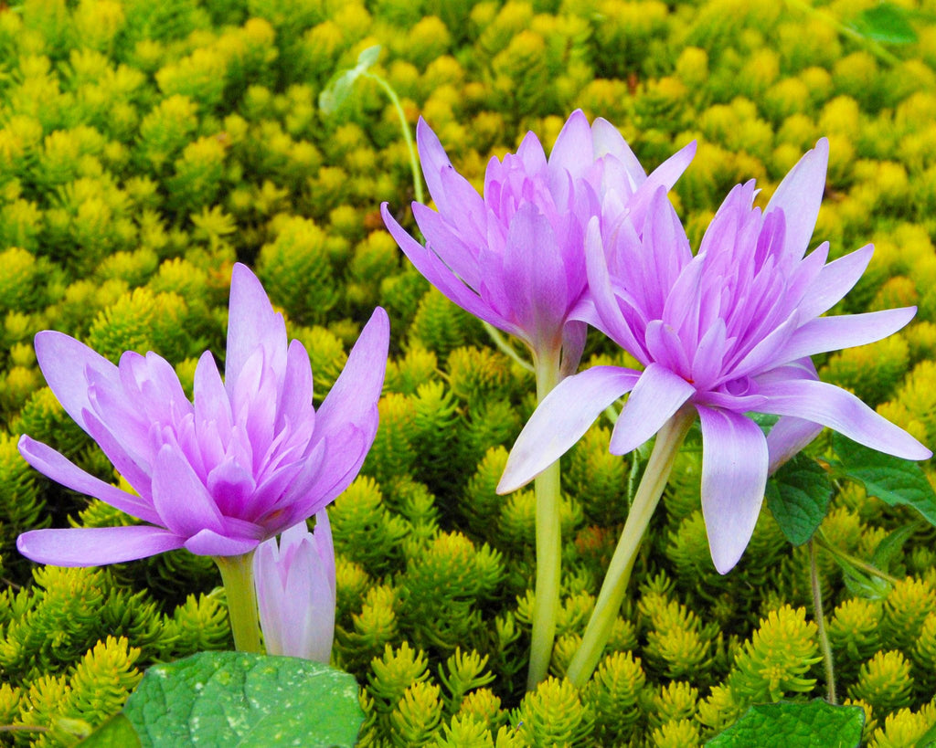Bee-friendly Colchicums