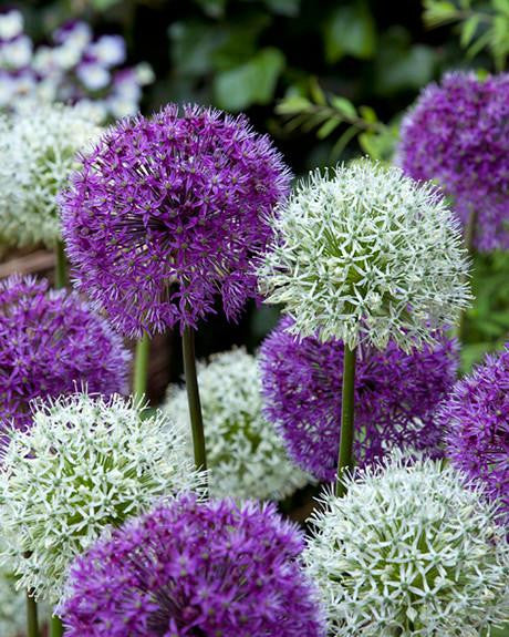 Allium Collection Perfect Partners