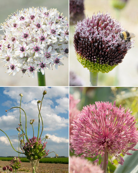 Allium Collection Allium Elite