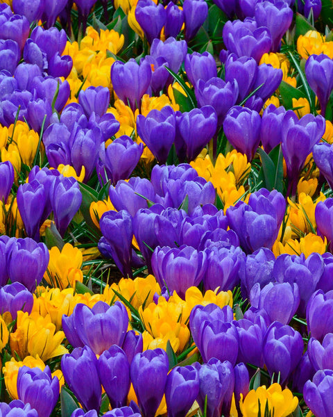 Crocus Collection Del Piero™