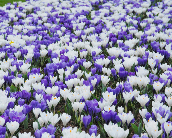 Crocus Collection Match of the Day