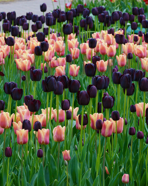 Tulip Collection Night & Day