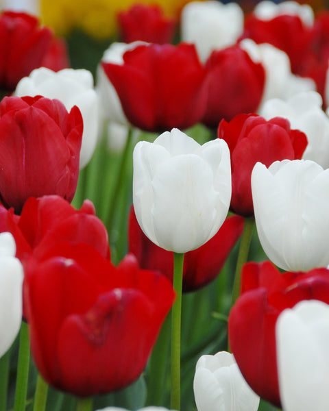 Tulip Collection Royal Style