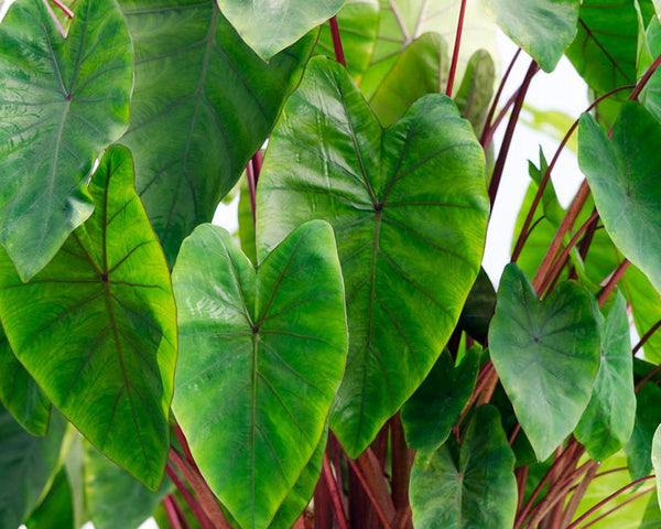 Colocasia Hawaiian Punch
