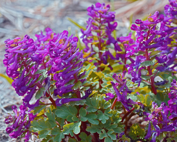 Corydalis Purple Bird