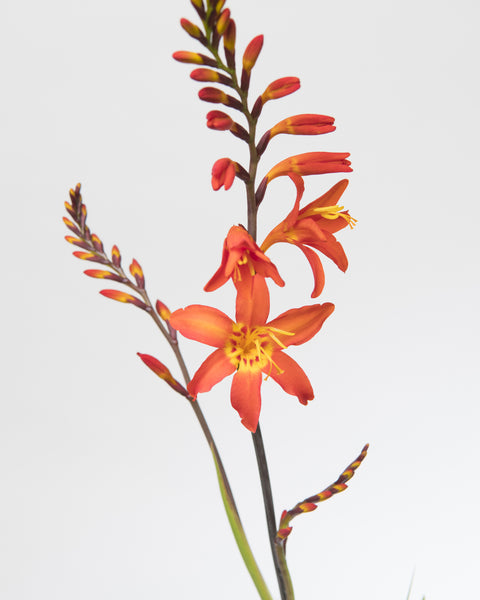 Crocosmia Prince of Orange