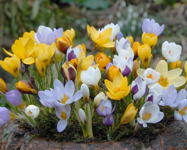 Flower BulbsBotanical Mixed Colours Bulbs UK - 2