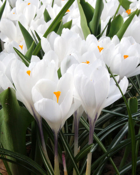 Crocus Jeanne d'Arc (White)