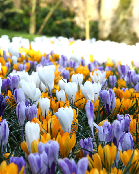 Crocus Mixed Colours