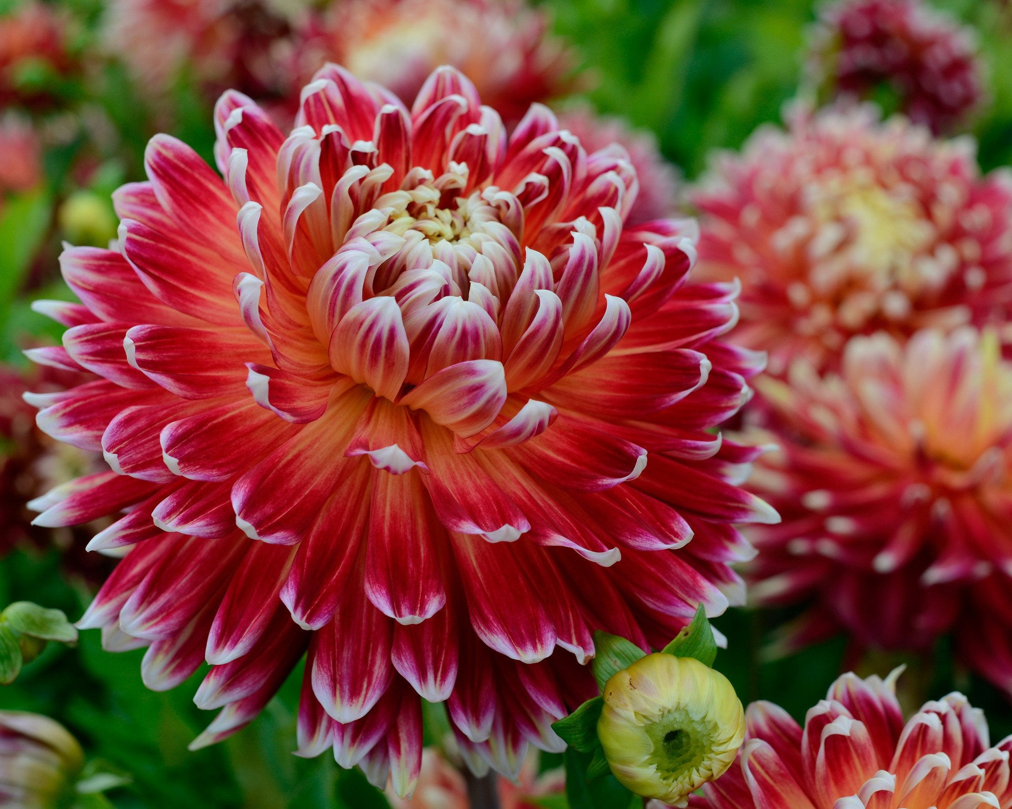 Dahlia Akita Tubers Buy Online At Farmer Gracy Uk