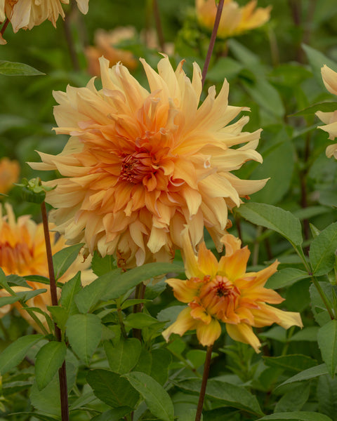 Dahlia Big Brother