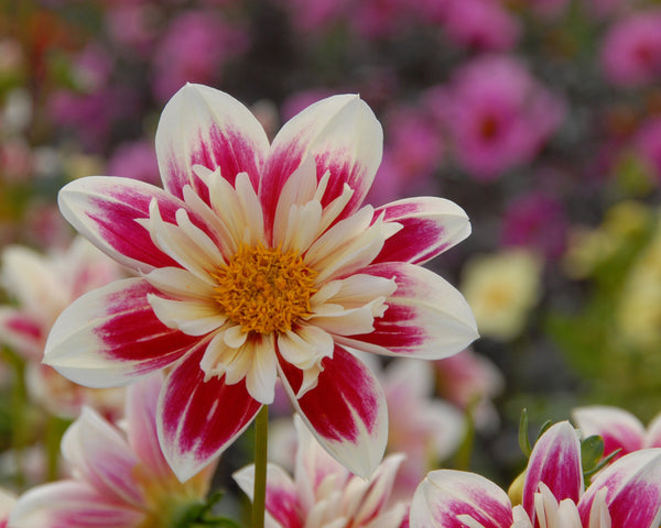 Dahlia Collection Pret à Collarette