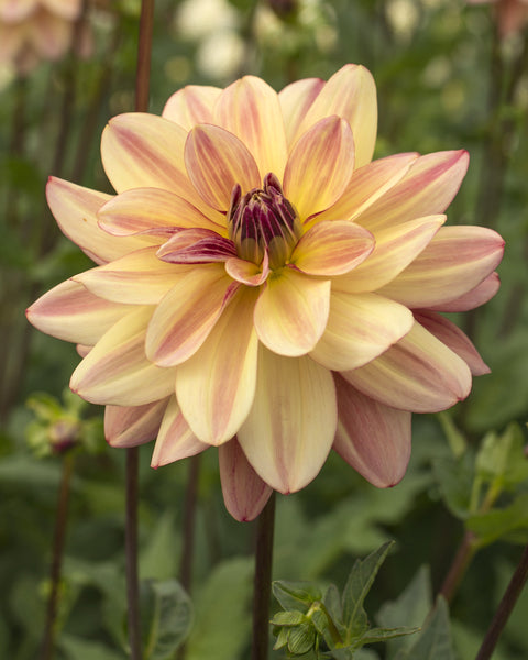 Dahlia Happy Butterfly
