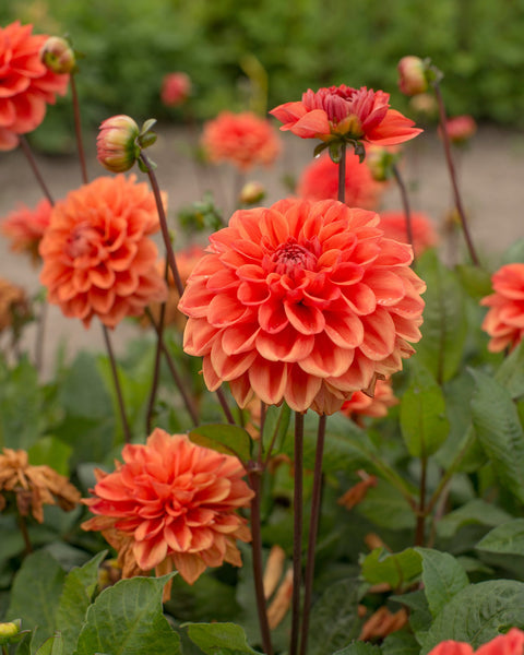 Dahlia Orange Nugget