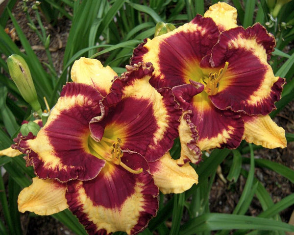 Daylily Open My Eyes