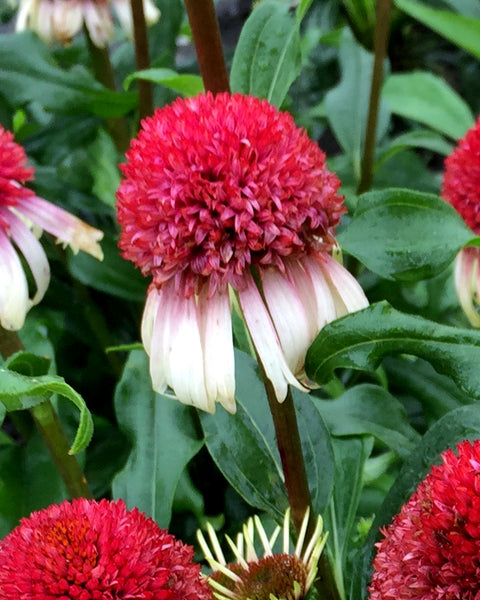 Echinacea Strawberry & Cream