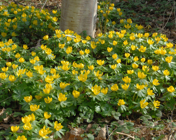 Flower Bulbshyemalis (Winter Aconite) Bulbs UK - 2