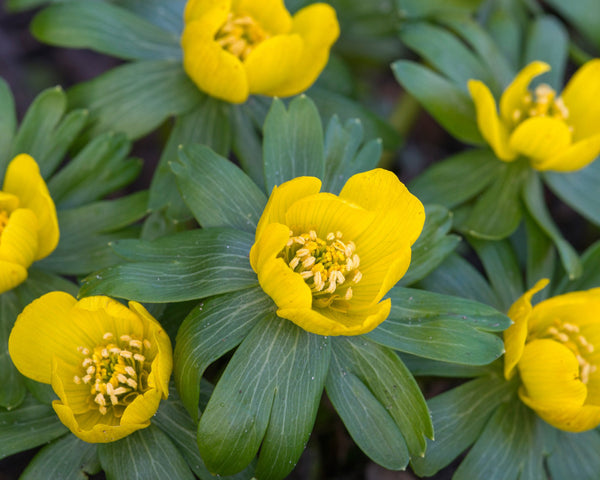 Flower Bulbshyemalis (Winter Aconite) Bulbs UK - 3