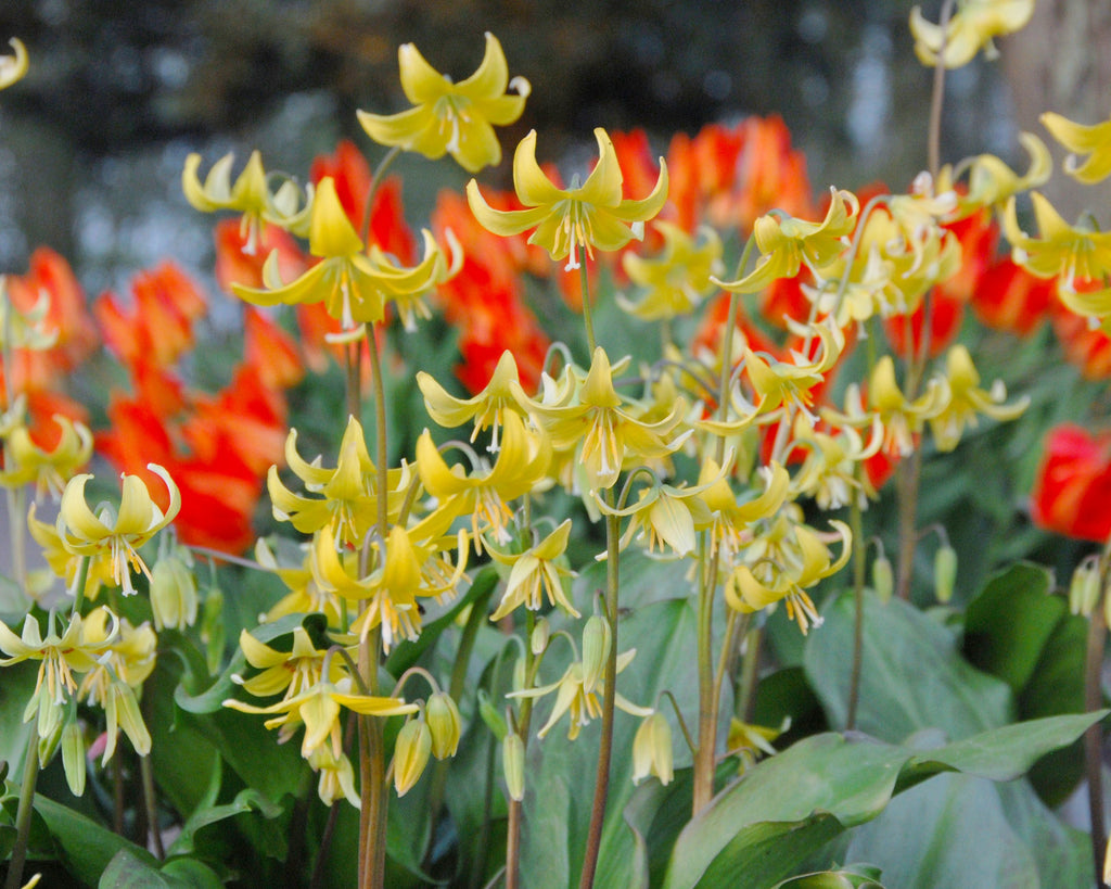 Soft yellow Erythroniums