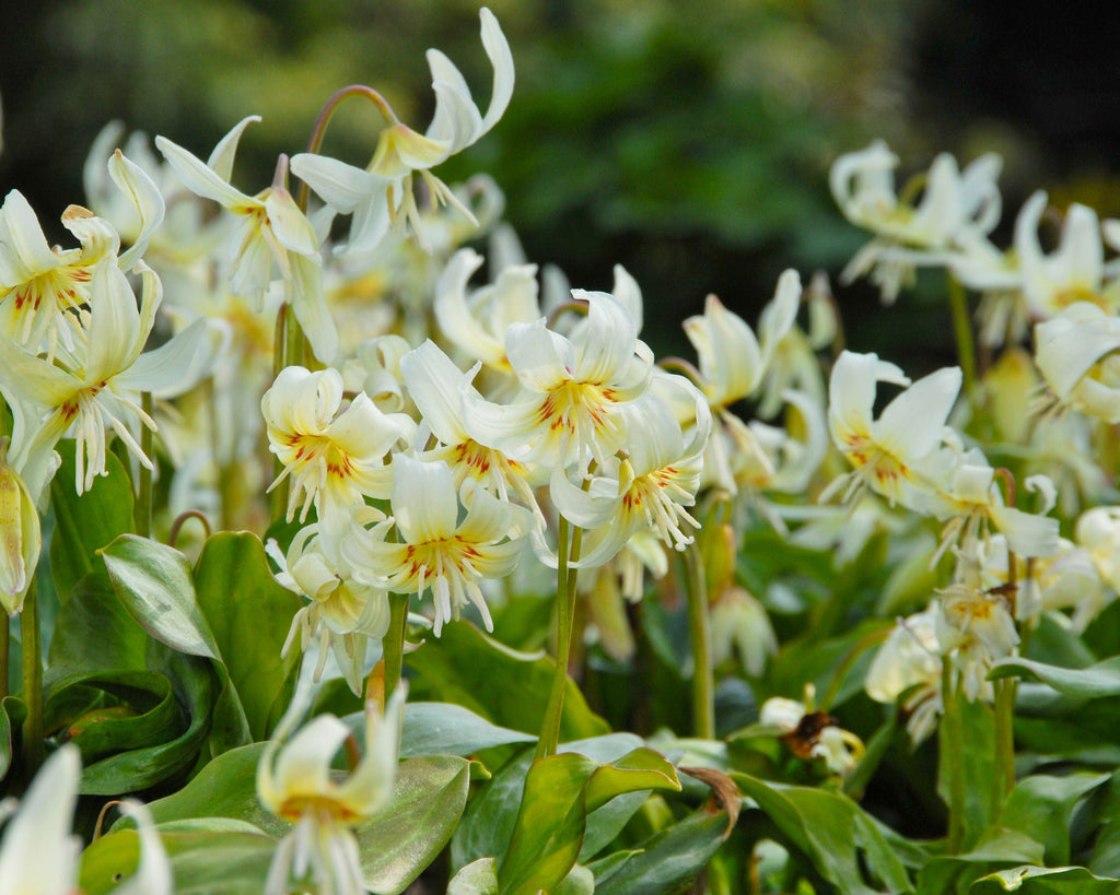 White Erythroniums