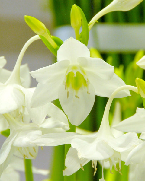 Eucharis amazonica