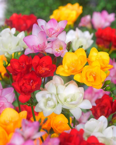 Freesia Double Mixed Colours