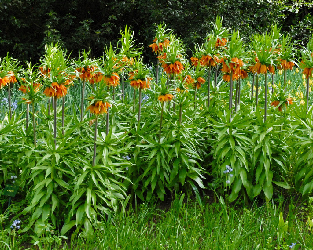 Fritillaria Imperialis Aurora Bulbs Orange Crown Imperial Buy