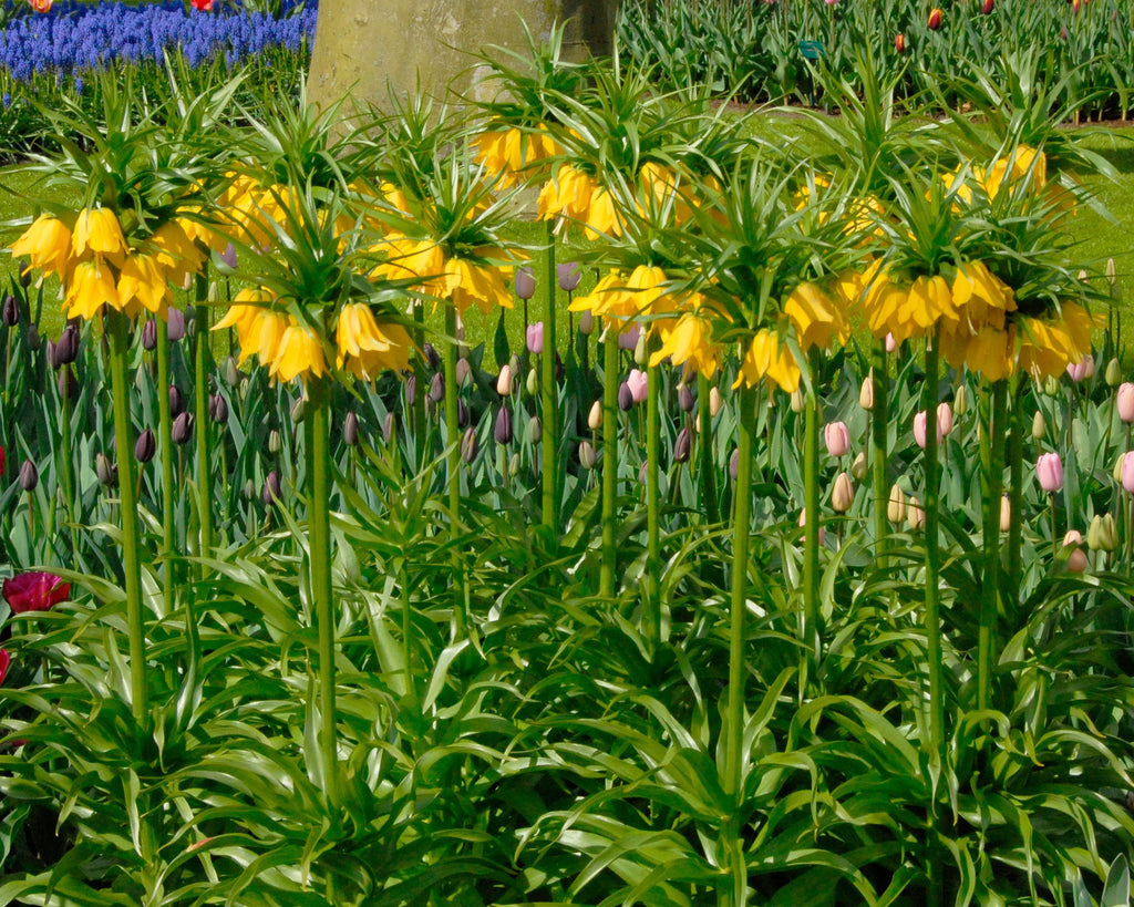 The Lordly Crown Imperial Or Fritillaria Imperialis Some Truly