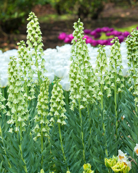 Flower Bulbspersica Ivory Bells Bulbs UK - 1
