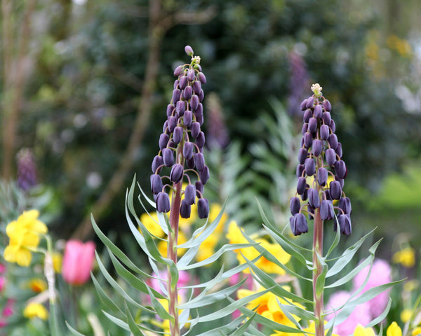 Fritillaria persica Twin Towers Tribute