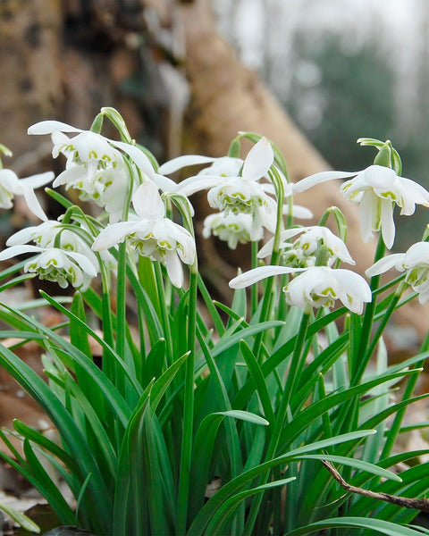 Flower Bulbsnivalis Flore Pleno Bulbs UK - 1