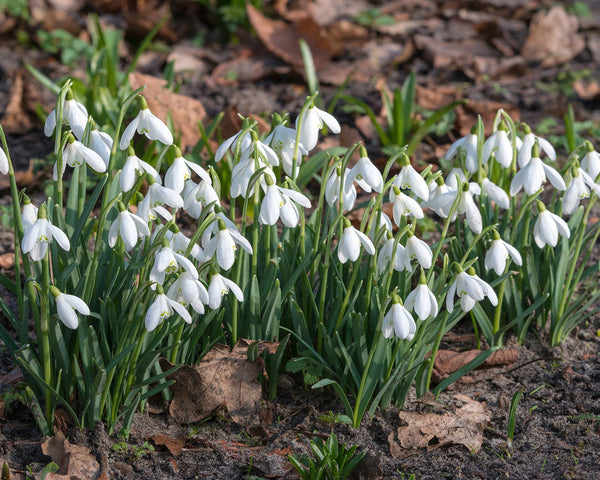 Flower BulbsNivalis (Snowdrops) Bulbs UK - 3