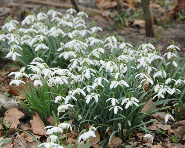 Flower BulbsNivalis (Snowdrops) Bulbs UK - 5