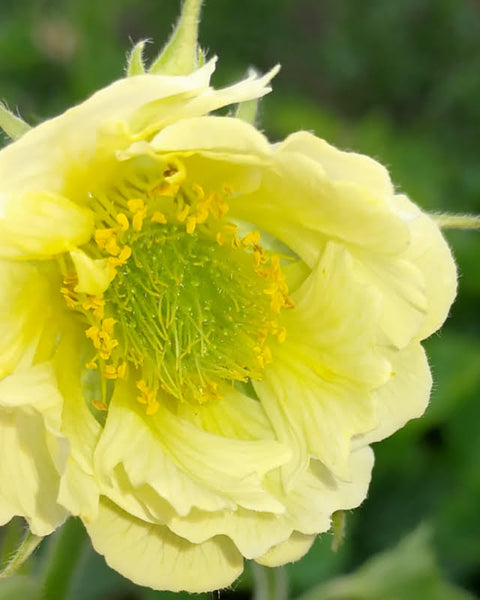 Geum Tales of Hex