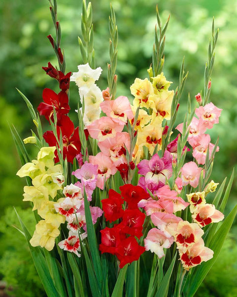 Gladiolus Butterfly Mixed Colours