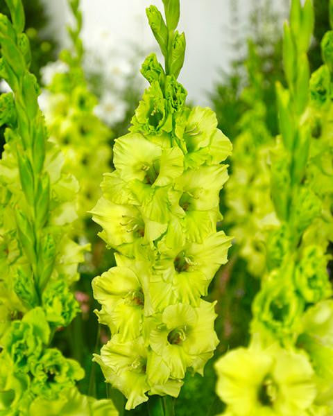 Gladiolus Evergreen