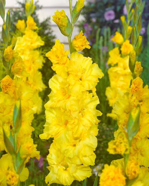 Gladiolus Lemon Drop