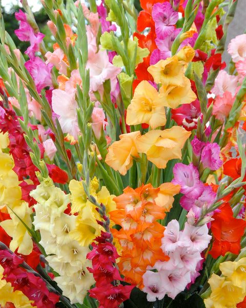 Gladioli Mixed Colours