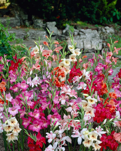 Gladioli Nanus Mixed Colours