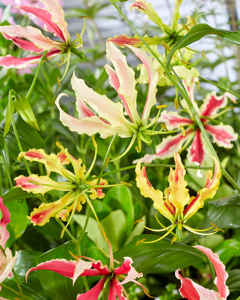 Gloriosa Summer Breeze