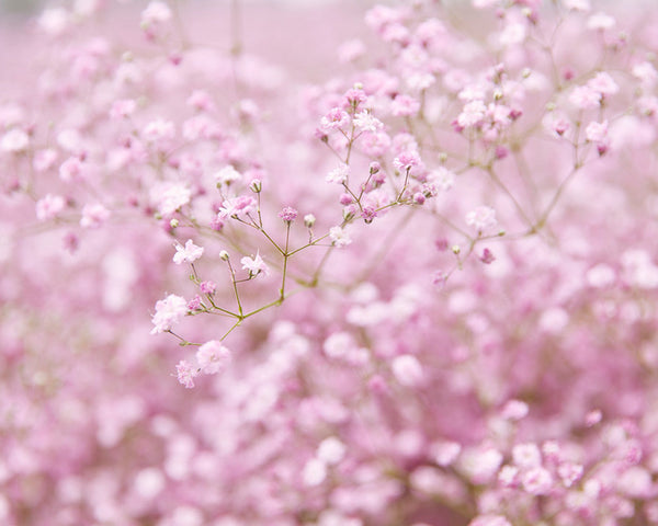 Gypsophila Flamingo