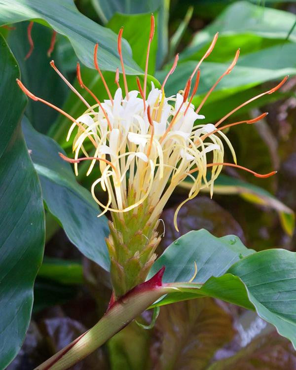 Hedychium plants UK