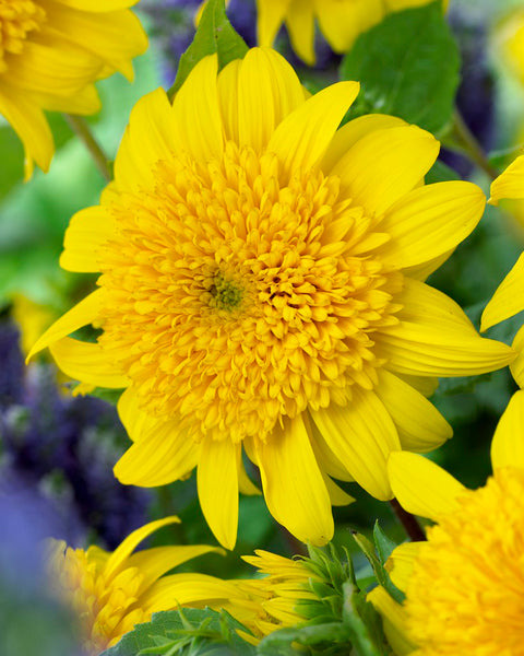 Helianthus Happy Days