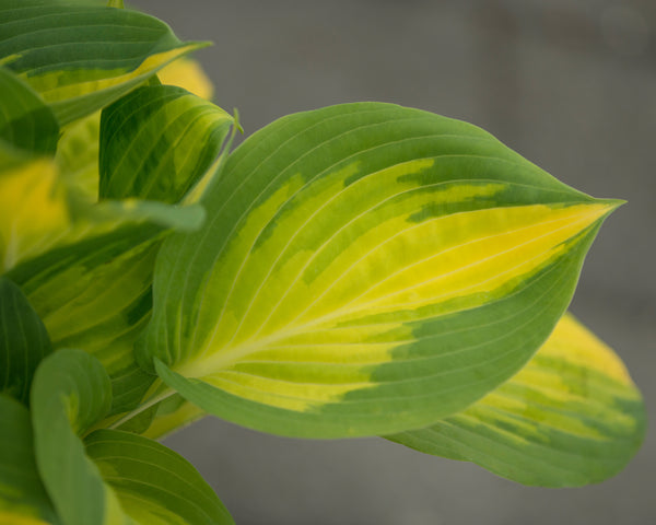 Hosta Forbidden Fruit