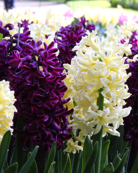 Hyacinth Collection Banana Plum